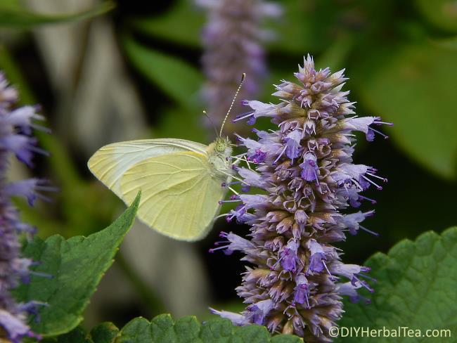 Butterfly on Anise Hyssop herb blossom
