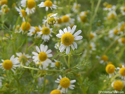 German Chamomile plant in full bloom