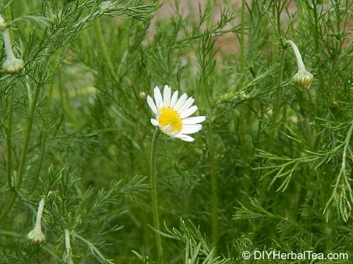 chamomile plant beginning to bloom
