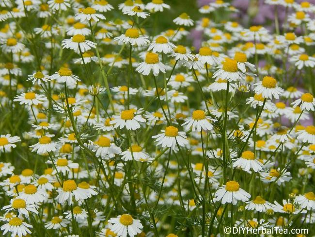 Chamomile in my garden