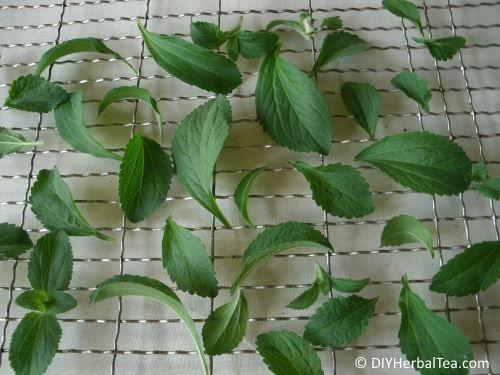 stevia leaves for drying