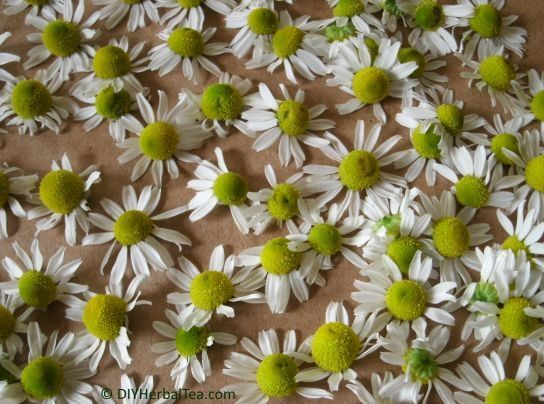 chamomile ready for drying