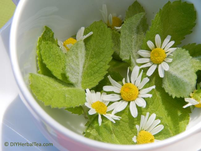 Chamomile flowers and apple mint in a teacup