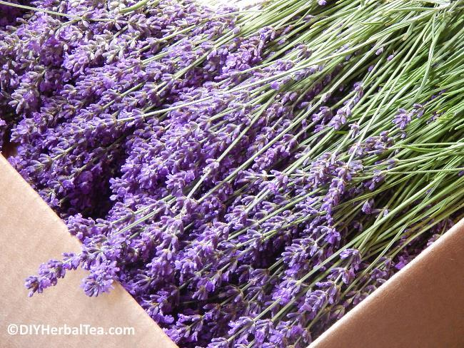 Stems of fresh lavender herb