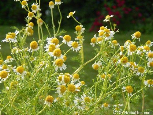 german chamomile in early summer