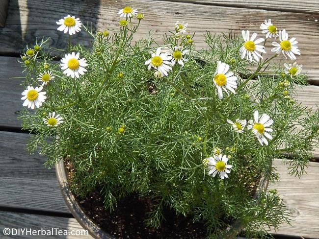 Chamomile plant growing in container on deck