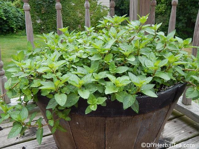 how to grow mint for one of a kind herbal teas it 39 s easy. Black Bedroom Furniture Sets. Home Design Ideas