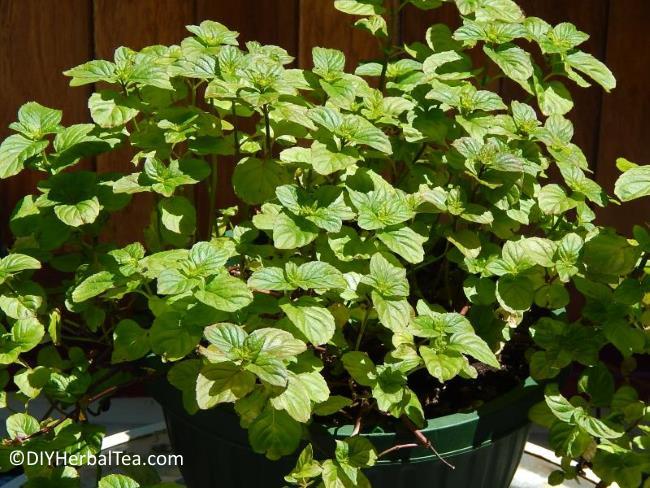 How Grow Mint For One Kind Herbal Teas Easy