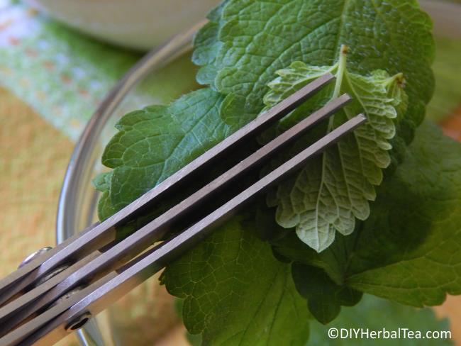 Chopping lemon balm with herb scissors
