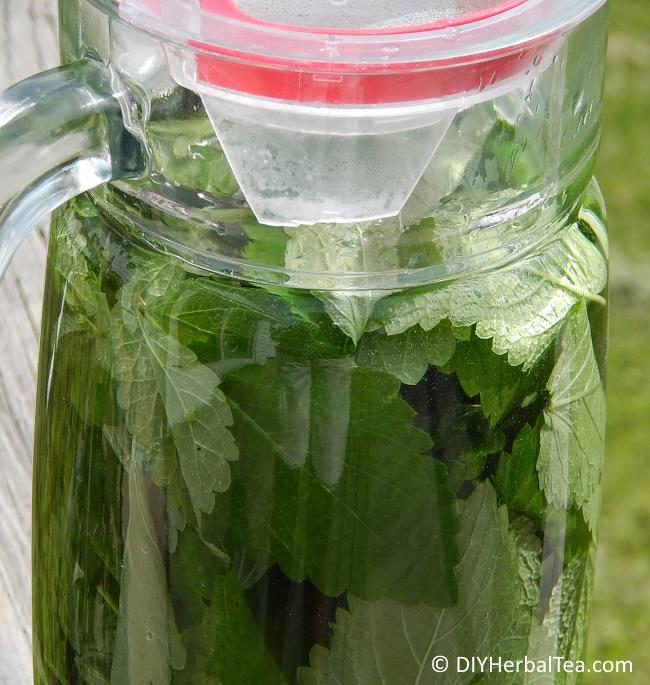 Pitcher filled with lemon balm herb leaves and water