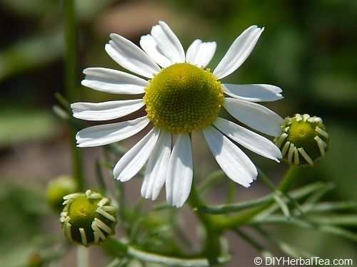 german chamomile flower ready for harvest