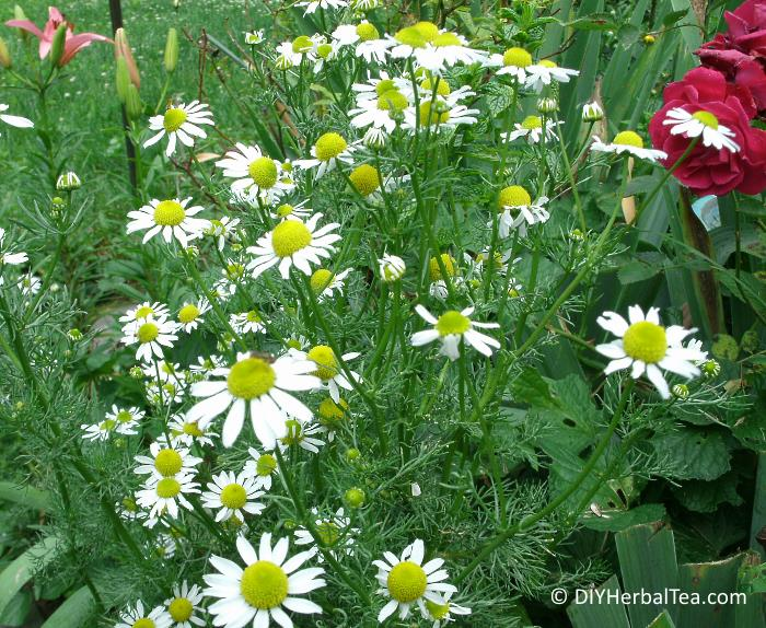 German Chamomile in blossom