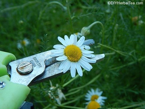 Cutting a Chamomile flower