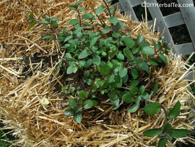 Citrus mint in my straw bale garden