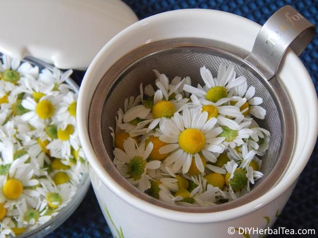 Chamomile blossoms in KATI cup infuser