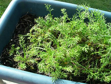 Over-crowded container of chamomile plants