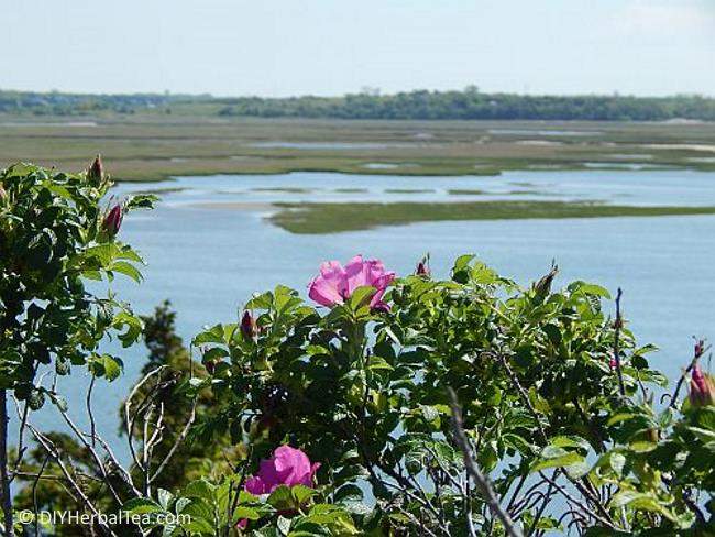 Rugosa roses at the seaside